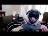 Pug Puppy Caught Yawning 29 Times