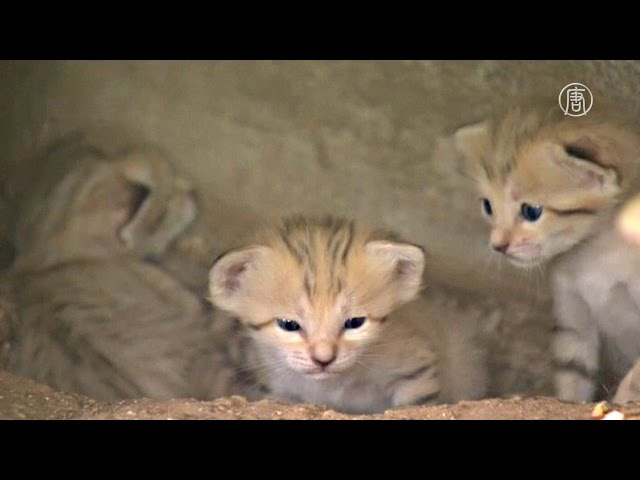 Редкая барханная кошка привела потомство в зоопарке Израиля (новости)