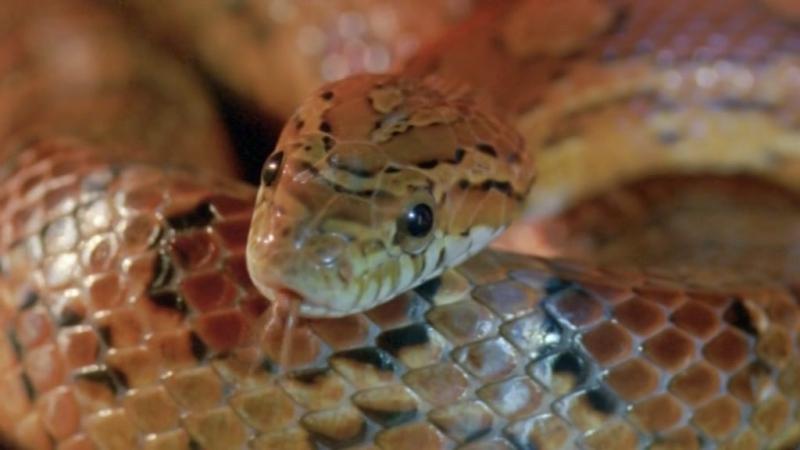 BBC Жизнь с холодной кровью Удивительные змеи