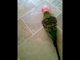 Попугай играет с игрушкой, разговаривает, целуется и смеется!!!