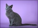Русская голубая кошка— порода домашней кошки.