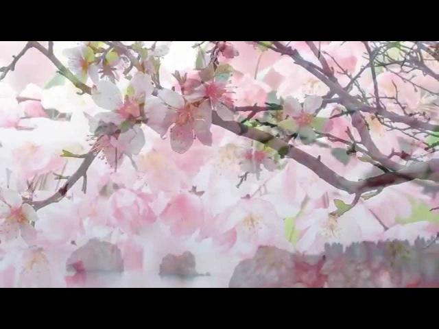 Цветущая сакура и волшебная музыка! Как в сказке!