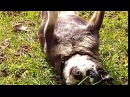 Вставай толстый пес Get up fat dog Levez-vous chien de la graisse