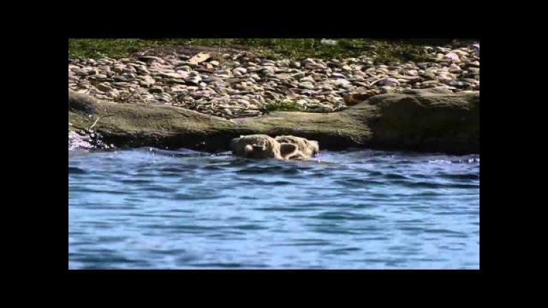 Blijdorp tweeling ijsbeer vandaag vrij zwemmen.