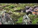 Дикая природа России 3 Siberia Cибирь 1080p