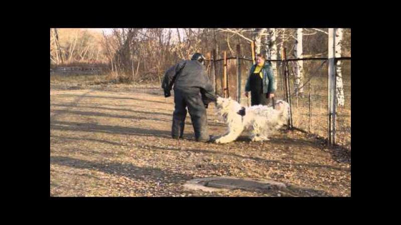 южнорусская овчарка ЕЛИЗАР