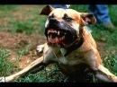 собачьи бои жуткие кадры алабай лучшая собака в мире!