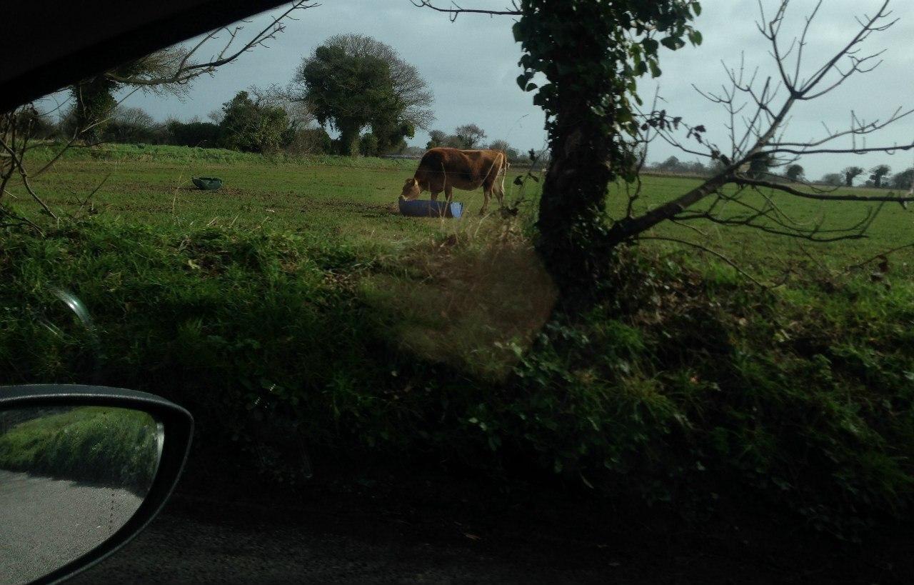 Джерсийская корова