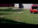 СМЕХ и МЕХ Дикий мужик строит гусей