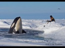 Dramatic raw footage of NOAA researchers tagging orcas with cross bows killer whales in Antarctica