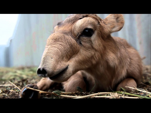 IFAW Russia - Saiga antelopes are rare creatures