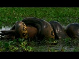 Worlds Deadliest - Anaconda Devours Worlds Largest Rodent