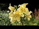 Посадка и пересадка лилий