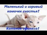 Котенок Сфинкс Донской, лысый котенок! Маленькое и красивое чудо!