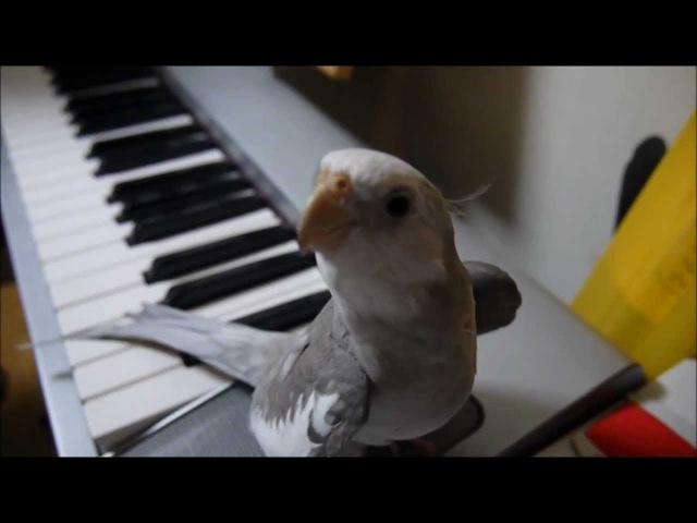 オカメインコ ぽこちゃん cockatiel singing Totoro