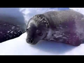 Тюлень учится плавать.Crybaby Learns to Swim