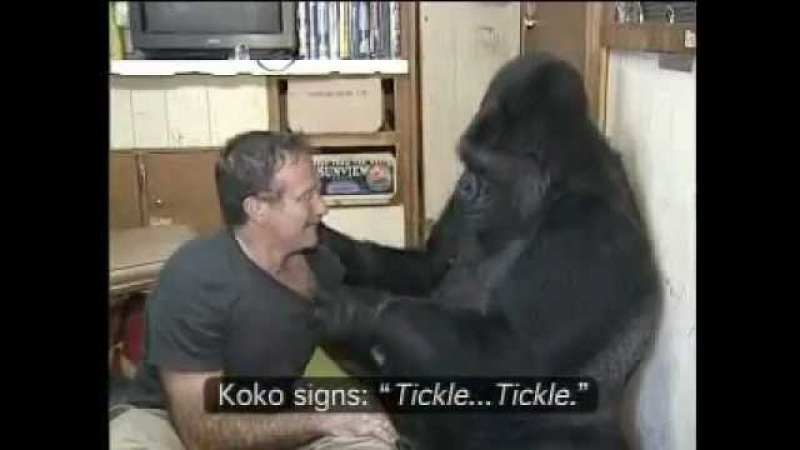 Знаменитая горилла Коко, знающая 1000 слов на языке жестов, с американским актёром Робином Вильямсом..mp4