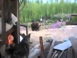 Собака против 3 Медведей