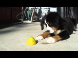 Прелестный Бернский зенненхунд играет с лимончиком.
