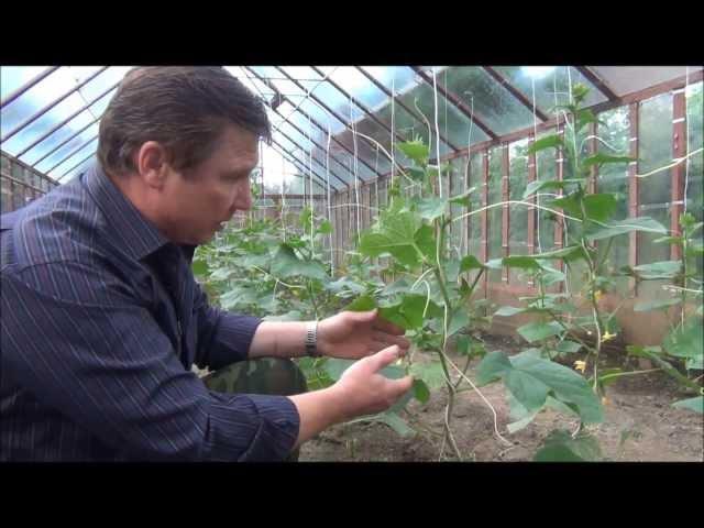 ОГУРЦЫ Продолжаем тему пасынкования и правильного выращивания