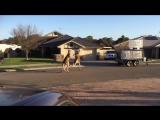 Copy of wild kangaroo street fight Aussie style [Юмор Приколы Смешные видео и Анекдоты на vk.com/umorgoodday]
