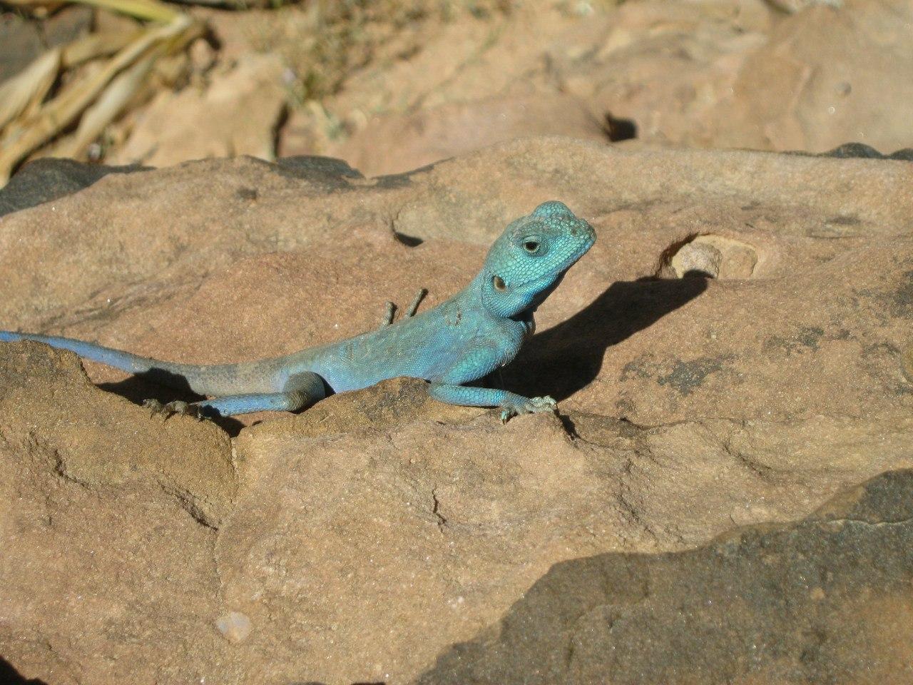 Голубая ящерица в древнем городе Петра