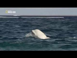 National Geographic. Дикая Канада (4 серия из 4) / Wild Canada / 2014 / ДБ / HDTVRip