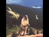Бобёр орет beaver yells