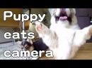 Cute corgi puppies want to eat camera / カメラを食べたいコーギー子犬 20150613 Part 3 welsh corgi slow motion
