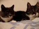 В мире животных. Говорящие кошки