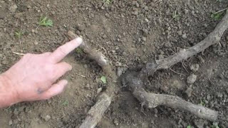 Часть 1 Омолаживание виноградных кустов