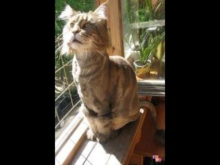 Подстриженный кот Мейн Кун мяукает