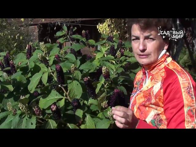 Неприхотливые растения для сада Лаконос или Фитолакка. Сайт Садовый мир