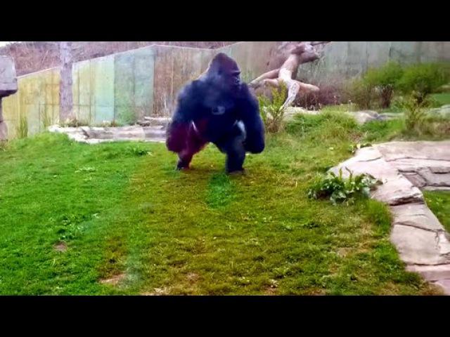 Goril Camın Arkasındaki İnsanlara Saldırmaya Çalıştı