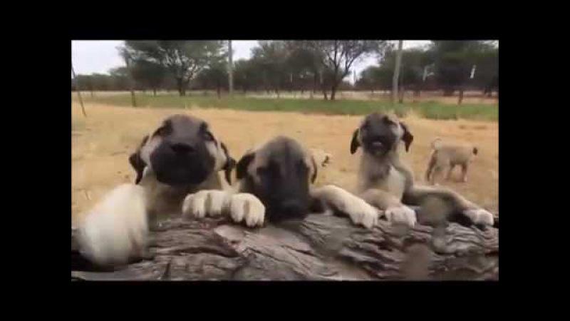 Elevage de chiens de berger au CCF v2014