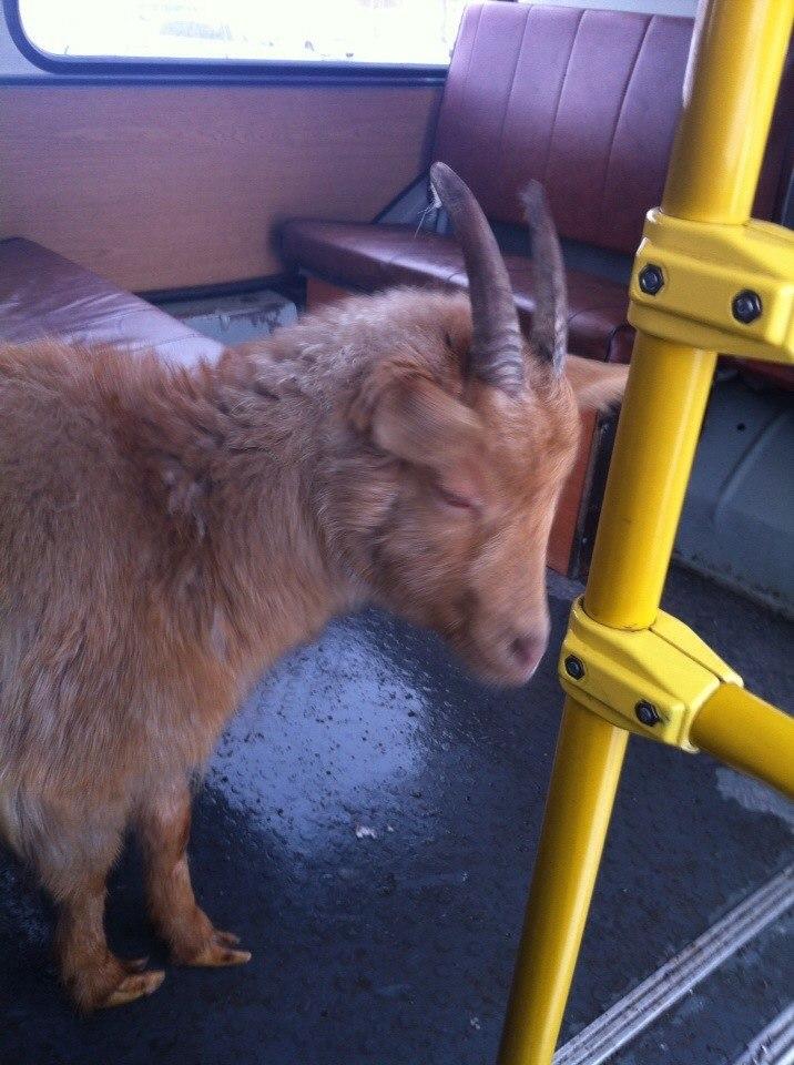 В Майме козел прокатился на автобусе