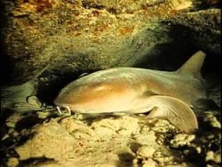 Подводная одиссея команды Кусто: 33 Спящие акулы Юкатана
