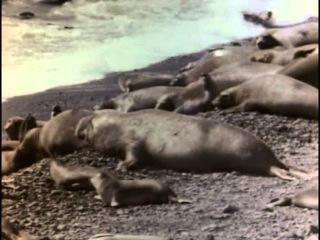 Подводная одиссея команды Кусто: #11 Возвращение морских слонов