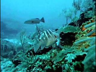 Подводная одиссея команды Кусто: 36 The Fish That Swallowed Jonah
