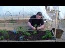 Когда и как высаживать томаты в открытый грунт
