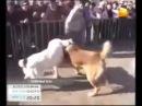 Собачьи бои  Тюркские алабаи  Актобе dogfights
