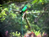 Nesting male Resplendent  Quetzal at Mount Totumas Cloud Forest