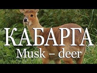 Кабарга — Musk deer