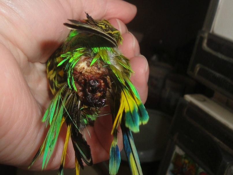 Как лечить воспаление копчиковой железы у попугая