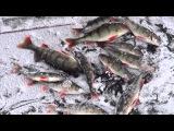 Рыбалка: Улов окуня по первому льду \ Ладога \ Ладожское Озеро \ Леднево \ 22 ноября 2014