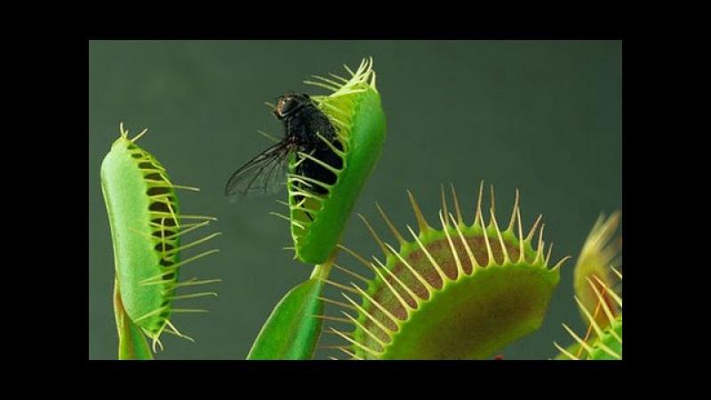 Семена Венериной Мухоловки растение Дионея Мухоловка цветок хищник