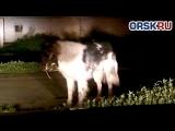 По Орску бегает зараженная бешенством собака!