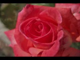 AUTUMN ROSE ( Ernesto Cortazar ).wmv