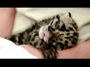 Cute Endangered Leopard Cub Hand Reared In Florida Zoo