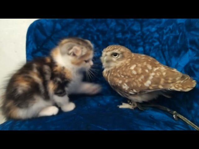 Kitten and owl video becomes internet sensation in Japan